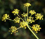 Wilder Fenchel Dolde gruen gelblich Foeniculum vulgare 02