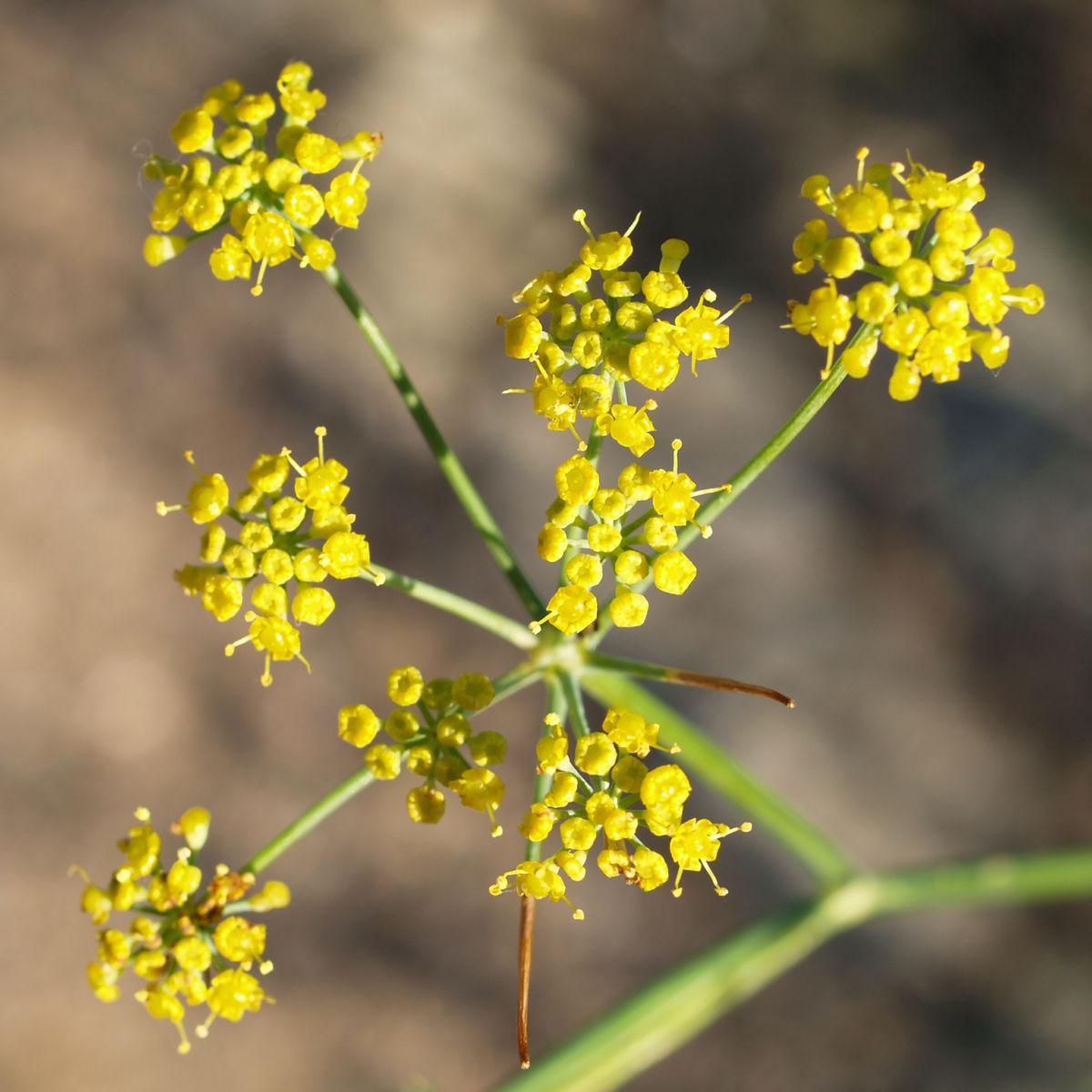 Wilder Fenchel Dolde gruen gelblich Foeniculum vulgare