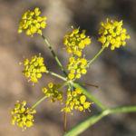 Wilder Fenchel Dolde gruen gelblich Foeniculum vulgare 04
