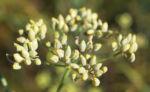 Wilder Fenchel Dolde gruen gelblich Foeniculum vulgare 06