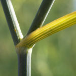 Wilder Fenchel Dolde gruen gelblich Foeniculum vulgare 08