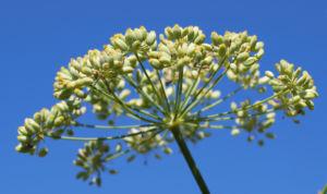 Wilder Fenchel Dolde gruen gelblich Foeniculum vulgare 10
