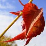 Wilder Wein Herbstlaub Parthenocissus thomsonii 02