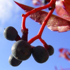 Wilder Wein Herbstlaub Parthenocissus thomsonii 03