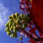 Wilder Wein Herbstlaub Parthenocissus thomsonii 04