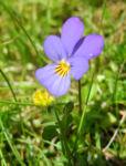 Wildes Stiefmuetterchen Bluete lila Viola tricolor 01