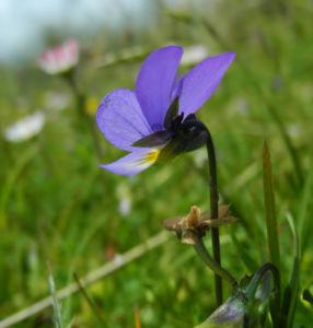 Wildes Stiefmuetterchen Bluete lila Viola tricolor 07