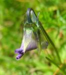 Bild: Wildes Stiefmütterchen Blüte lila Viola tricolor