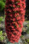 Wildprets Natternkopf Bluete rot Echium wildpretii 02
