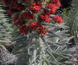 Wildprets Natternkopf Bluete rot Echium wildpretii 08