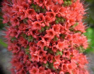 Wildprets Natternkopf Bluete rot Echium wildpretii 12
