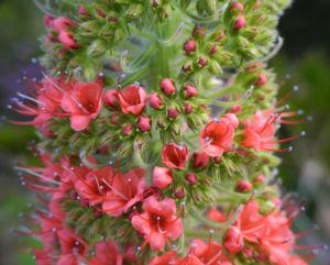 Wildprets Natternkopf Bluete rot Echium wildpretii 13