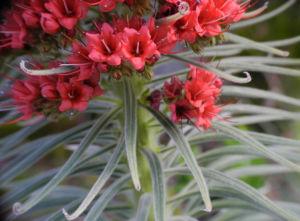 Wildprets Natternkopf Bluete rot Echium wildpretii 14