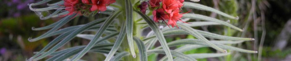 wildprets-natternkopf-bluete-rot-echium-wildpretii