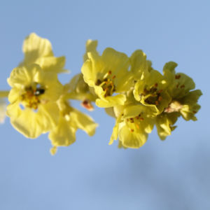 Bild: Willmotts Scheinhasel Blüte hellgelb Corylopsis willmottiea