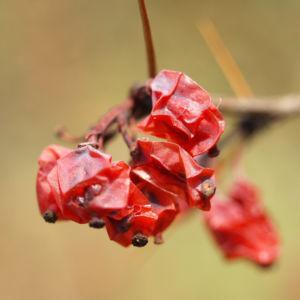 Wilsons Berberitze Fruechte rot Berberis wilsoniae 01