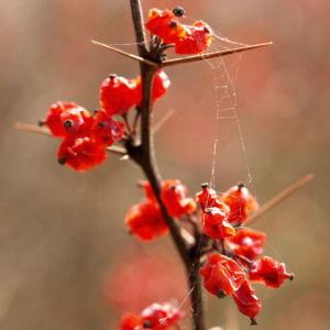 Wilsons Berberitze Fruechte rot Berberis wilsoniae 02
