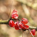 Wilsons Berberitze Fruechte rot Berberis wilsoniae 03