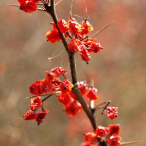 Wilsons Berberitze Fruechte rot Berberis wilsoniae 04