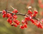 Bild: Wilsons Berberitze Früchte rot Berberis wilsoniae