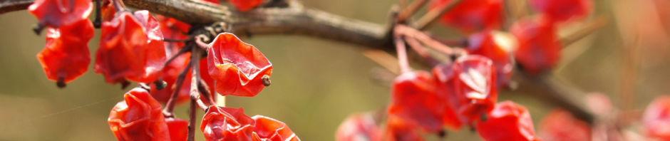 Anklicken um das ganze Bild zu sehen Wilsons Berberitze Früchte rot Berberis wilsoniae