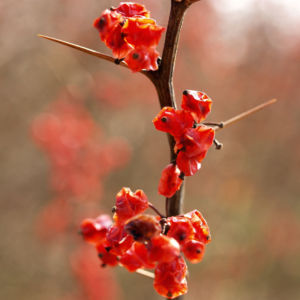 Wilsons Berberitze Fruechte rot Berberis wilsoniae 06
