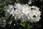 Bild: Wilsons Deutzie Blüte weiß Deutzia x wilsonii