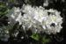 Zurück zum kompletten Bilderset Wilsons Deutzie Blüte weiß Deutzia x wilsonii