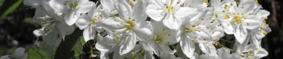 Anklicken um das ganze Bild zu sehen Wilsons Deutzie Blüte weiß Deutzia x wilsonii