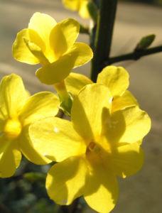 Winter Jasmin Bluete gelb Jasminum nudiflorum 01
