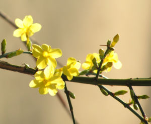 Winter Jasmin Bluete gelb Jasminum nudiflorum 03