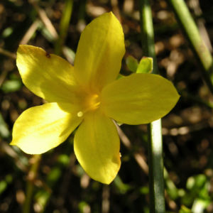 Winter Jasmin Strauch Bluete gelb Jasminum nudiflorum 01