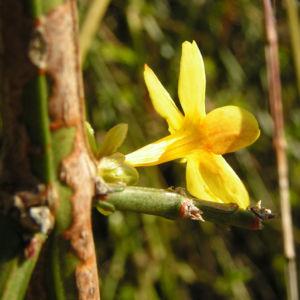 Winter Jasmin Strauch Bluete gelb Jasminum nudiflorum 02