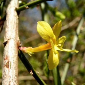Winter Jasmin Strauch Bluete gelb Jasminum nudiflorum 03