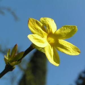 Winter Jasmin Strauch Bluete gelb Jasminum nudiflorum 04