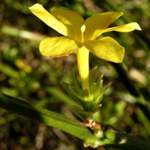 Winter Jasmin Strauch Bluete gelb Jasminum nudiflorum 06