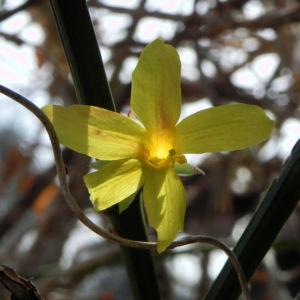 Winter Jasmin Strauch Bluete gelb Jasminum nudiflorum 06 1