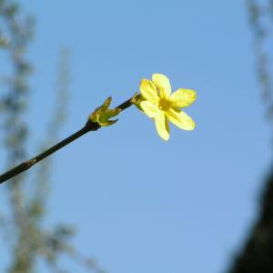 Winter Jasmin Strauch Bluete gelb Jasminum nudiflorum 07