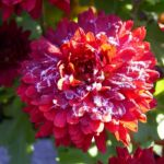 Winteraster lila geeist Chrysanthemum Indicum Hybride 02