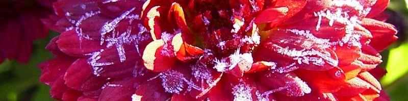 Anklicken um das ganze Bild zu sehen Winteraster lila geeist - Chrysanthemum indicum hybride