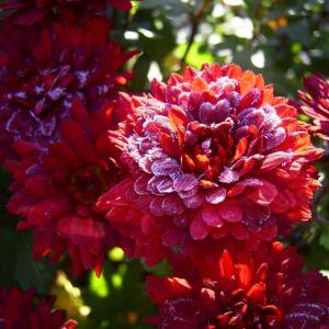 Winteraster lila geeist Chrysanthemum Indicum Hybride 04