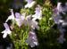 Zurück zum kompletten Bilderset Winter-Bohnenkraut Blüte hell weiß Satureja montana