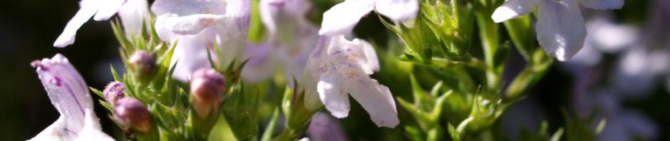 Anklicken um das ganze Bild zu sehen Winter-Bohnenkraut Blüte hell weiß Satureja montana