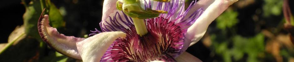 winterharte-passionsblume-bluete-weiss-lila-passiflora-incarnata