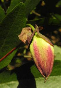 Winterharte Passionsblume Knospe lila Passiflora incarnata 25