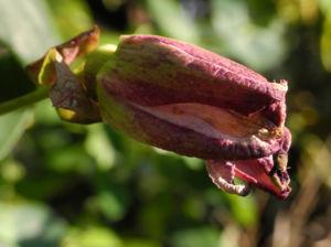 Winterharte Passionsblume Knospe lila Passiflora incarnata 27