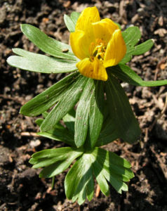 Winterling Bluete gelb Eranthis hyemalis 01