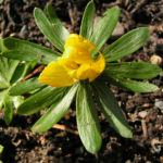 Bild:  Winterling Blüte gelb Eranthis hyemalis