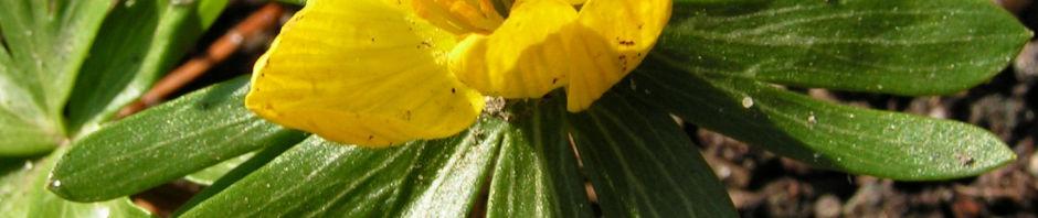 Anklicken um das ganze Bild zu sehen Winterling Blüte gelb Eranthis hyemalis