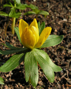 Winterling Bluete gelb Eranthis hyemalis 04